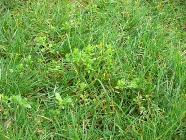 Lawn weeds in Brookfield, WI
